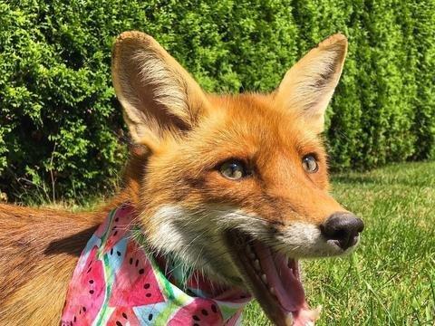 饲养妊娠母狐的注意事项
